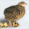 Здоровье в крапинку: чем полезны перепелиные яйца?