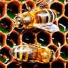 Пчелиная перга. Сохраним наших пчел – ради драгоценного меда и целительной перги