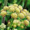 ТРАВКА-ворожея: как вырастить в своем огороде любисток лекарственный