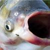 Меню рыбного дня со всего мира: рецепты вкусных блюд из сазана