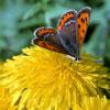Одуванчик в народной медицине – пока не закончилась пора цветения