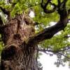Как лечиться с помощь коры дуба? Советы и рецепты от гомеопатов