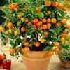 Домашний уют: Как вырастить дома мандариновое дерево?