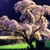 Ханами – сезон цветения сакуры: О японской философии любования цветением