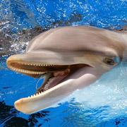 Почему индусы считают дельфинов личностями и закрывают дельфинарии?