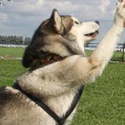 У собак нюх не только на «запрещенные вещества», но и на рак?..