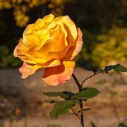 Подготовка роз на зиму. Что нельзя делать и, что можно.