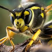 Укус осы, пчелы, шершня или шмеля... Что делать?