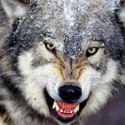Тамбовский волк тебе товарищ ... Откуда пошло выражение?