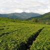 Чайная география Китая